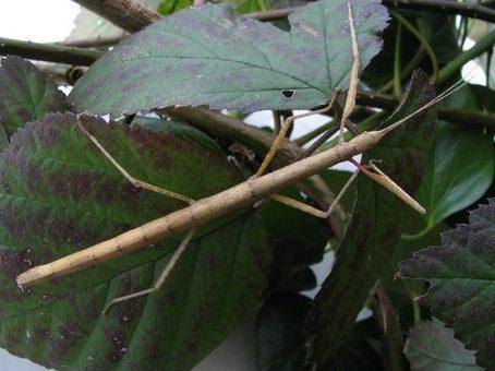 PSG 1 - Carausius morosus - Volwassen vrouw