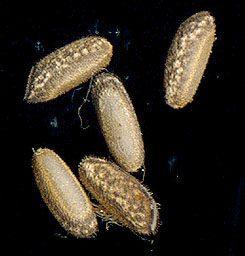 PSG 4 - Sipyloidea sipylus - Eitjes