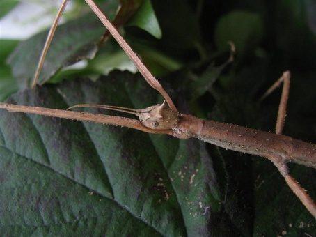 PSG 5 - Medauriodea extradentata - Vrouwtje met hoorntjes