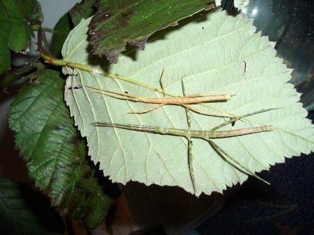 PSG 5 - Medauriodea extradentata - Verschillend gekleurde nimfen