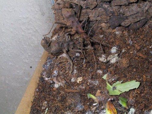 PSG 99 - Epidares nolimetangere - Volwassen vrouwtje begraaft ei