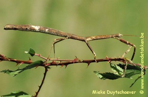 PSG 100 - Lonchodes amaurops - Volwassen vrouw