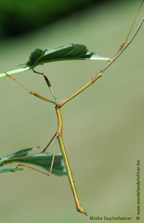 PSG 100 - Lonchodes amaurops - Volwassen man