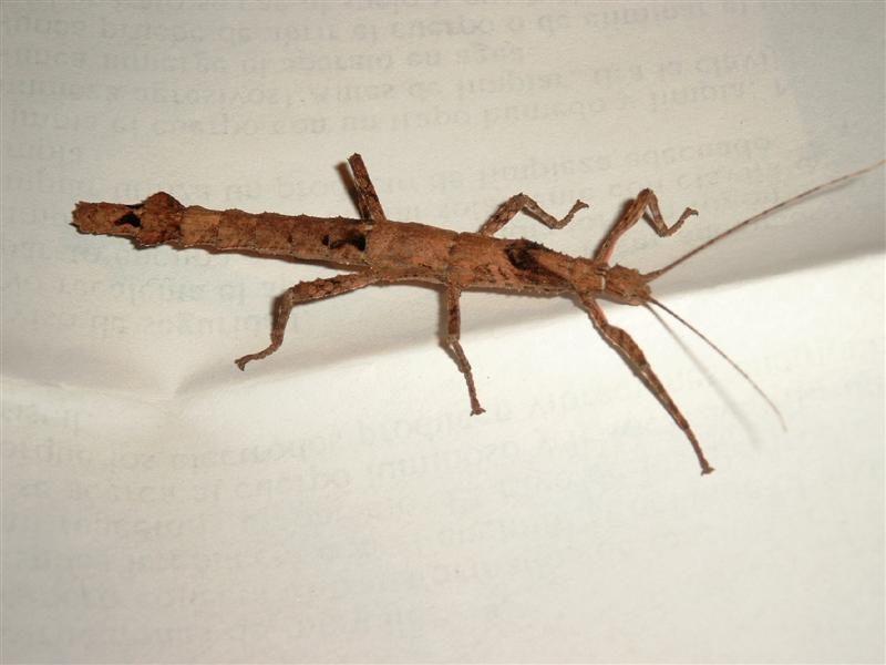PSG 101 - Lamponius guerini - Volwassen vrouwtje