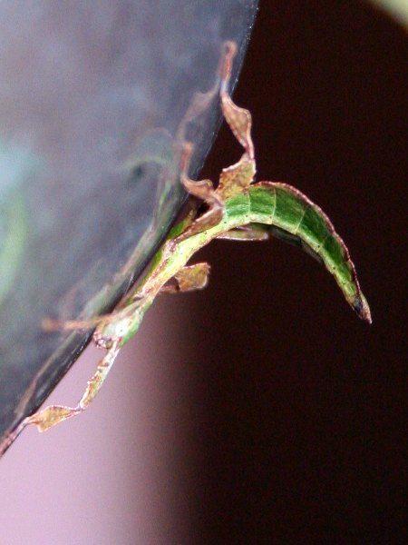 PSG 10 - Phyllium bioculatum var pulchrifolium  - Nimfje