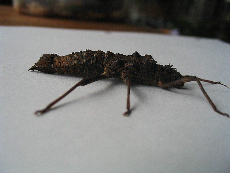 PSG 110 - Hoploclonia gecko - Volwassen vrouw