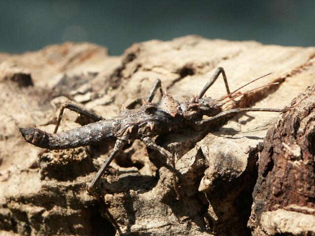 PSG 110 - Hoploclonia gecko - Subvolwassen vrouw