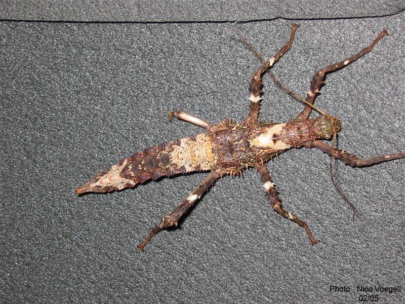 PSG 112 - Haaniella erringtoniae - Subvolwassen vrouwtje