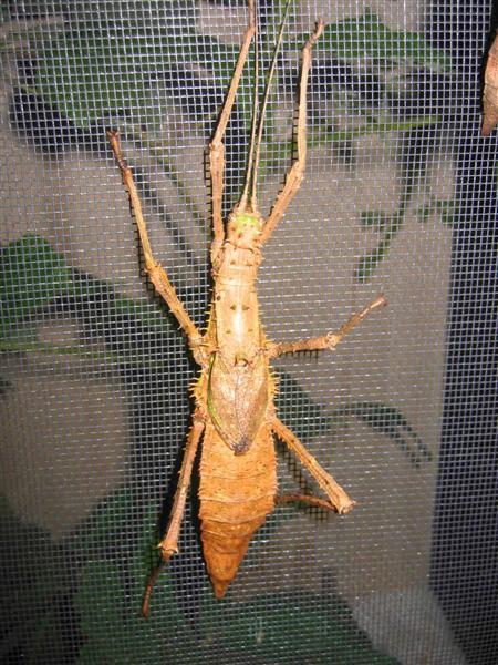 PSG 112 - Haaniella erringtoniae - Volwassen vrouwtje