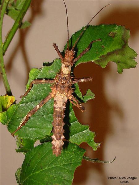 PSG 112 - Haaniella erringtoniae - Subvolwassen man