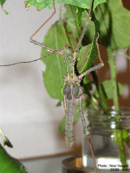 PSG 112 - Haaniella erringtoniae - Volwassen man