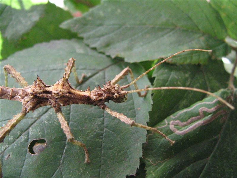 PSG 118 - Aretaon asperrimus - Mannelijke nimf