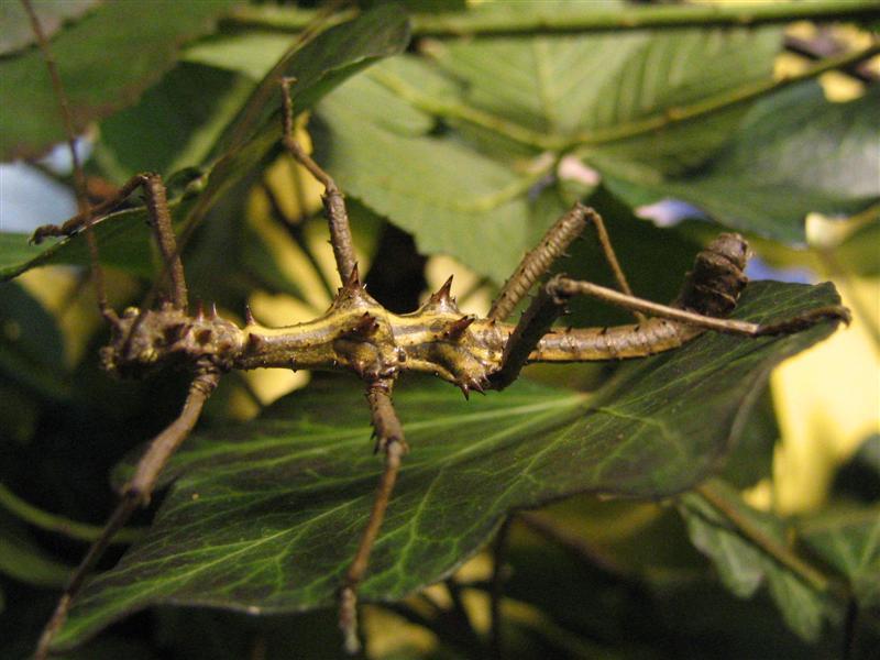 PSG 118 - Aretaon asperrimus - Volwassen man