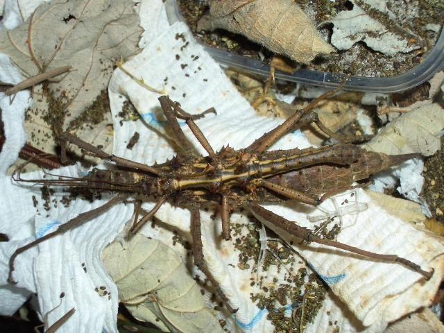 PSG 118 - Aretaon asperrimus - Koppel