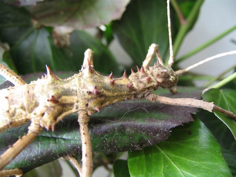 PSG 118 - Aretaon asperrimus - Volwassen vrouwtje