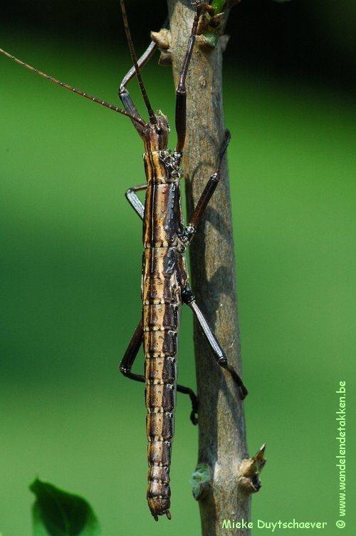 PSG 122 - Anisomorpha paromalus - Subadulte nimf