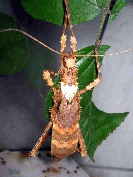 PSG 125 - Haaniella grayii - Volwassen vrouwtje