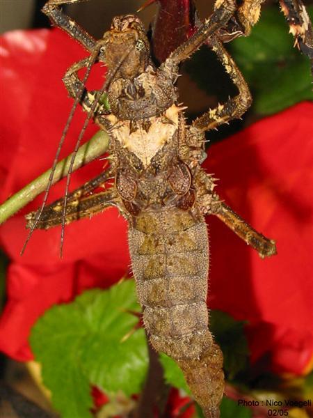 PSG 126 - Haaniella dehaanii - Subadult vrouwtje