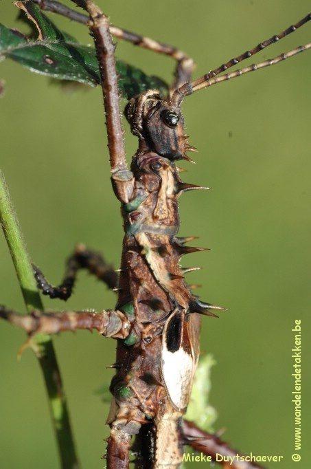PSG 126 - Haaniella dehaanii - Volwassen mannetje