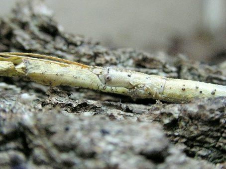PSG 127 - Hermagoras megabeast - Volwassen witte vrouw (uitzonderlijke kleuring)