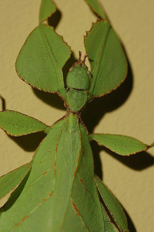 PSG 128 - Phyllium westwoodii - Volwassen vrouw