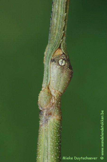 PSG 144 - Ramulus artemis - Volwassen vrouwtje