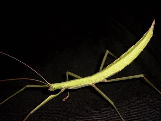 PSG 145 - Paramenexenus laetus - Volwassen vrouwtje