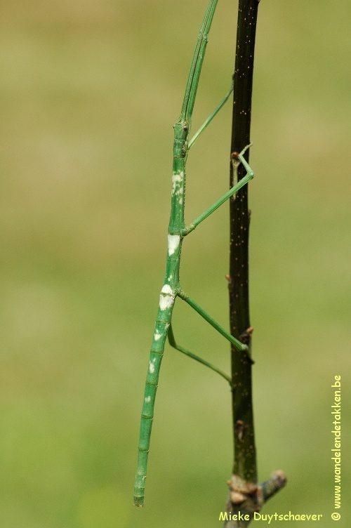 PSG 152 - Phanocloidea nodulosa - Subvolwassen vrouw