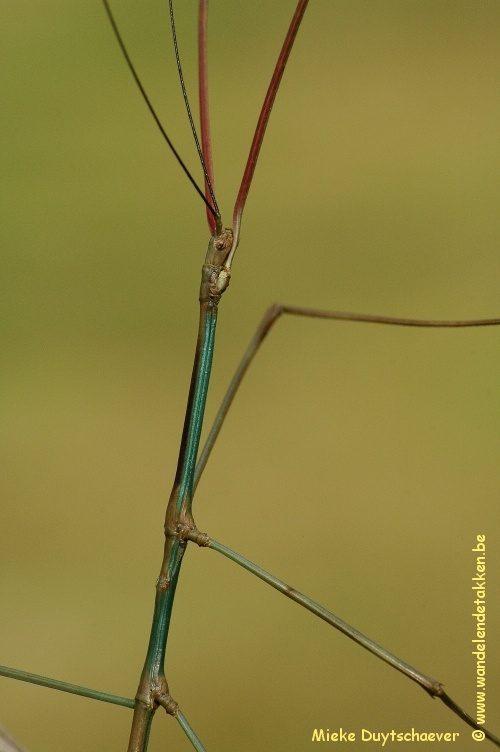 PSG 152 - Phanocloidea nodulosa - Volwassen man