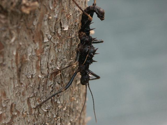 PSG 165 - Hoploclonia abercrombiei - Volwassen man