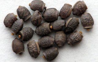 PSG 169 - Mnesilochus capreolus - Eitjes