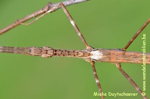 PSG 175 - Diesbachia tamyris - Volwassen Vrouw