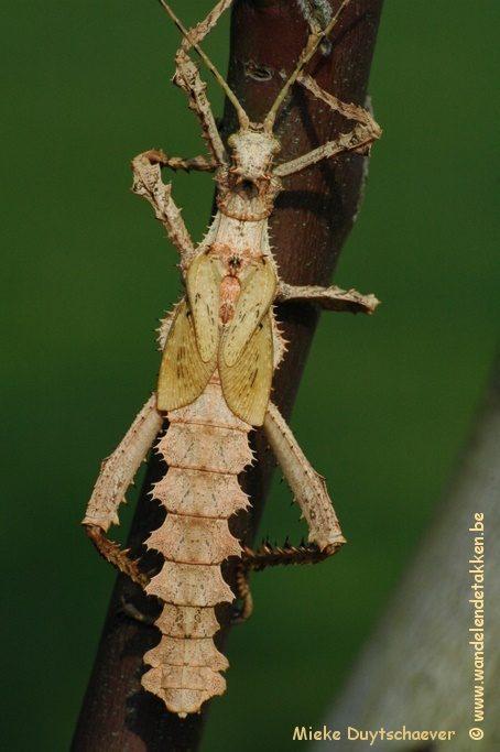 PSG 18 - Heteropteryx dilatata - Subvolwassen man