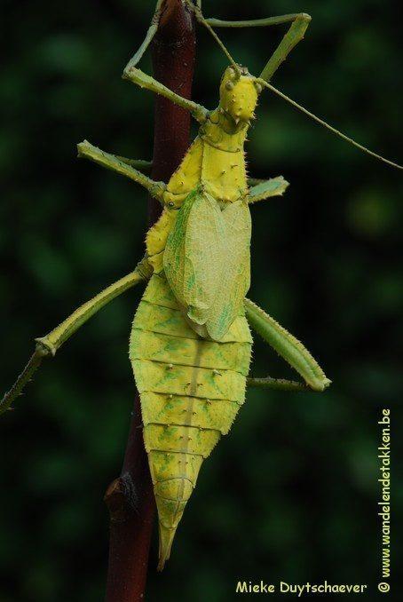 PSG 18 - Heteropteryx dilatata - Volwassen vrouw gele variant