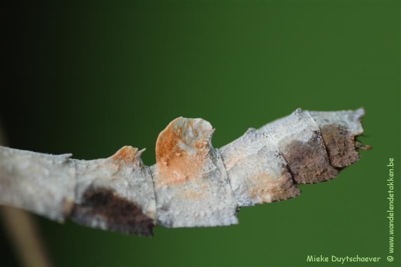 PSG 182 - Oxyartes lamellatus - Volwassen vrouwtje achtereinde