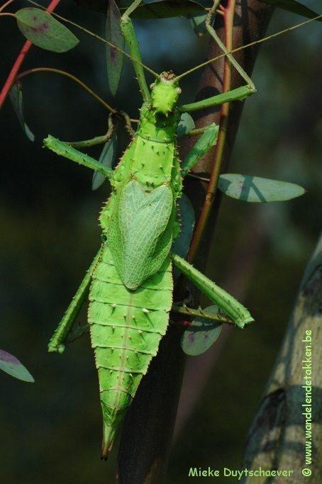 PSG 18 - Heteropteryx dilatata - Volwassen vrouw