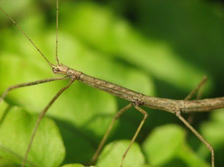 PSG 186 - Chondrostethus woodfordi - Vrouwelijke nimf