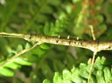 PSG 186 - Chondrostethus woodfordi - Volwassen vrouw