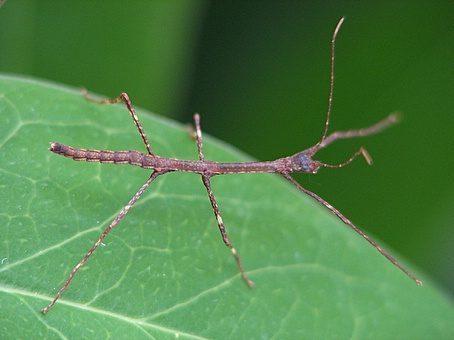 PSG 19 - Lonchodes brevipes - Nimf