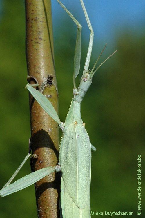 PSG 193 - Tropidoderus childrenii - Volwassen vrouw