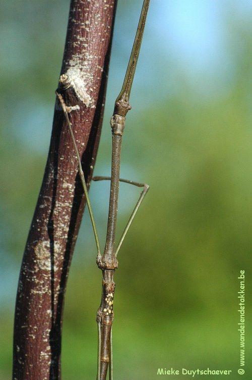 PSG 205 - Phaenopharos struthioneus - Volwassen man