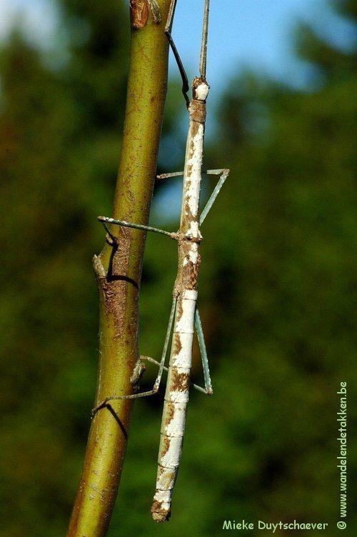 PSG 205 - Phaenopharos struthioneus - Volwassen vrouw