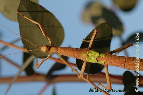 Volwassen vrouwtje, bruine variant