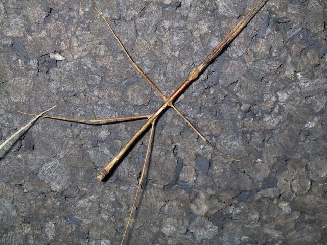 PSG 216 - Medaura scabriuscula - Volwassen man