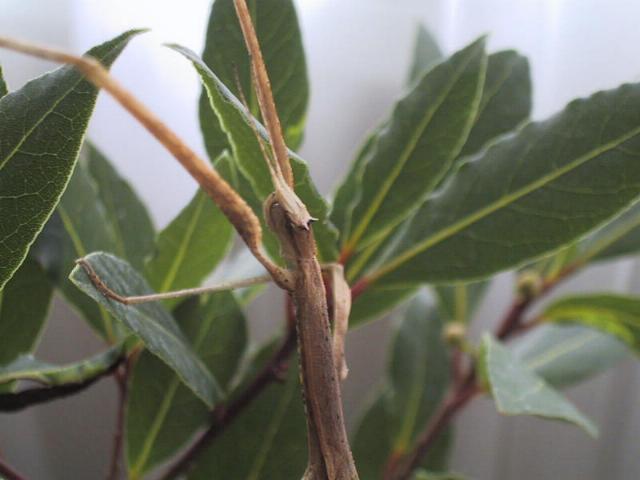 PSG 216 - Medaura scabriuscula - Volwassen vrouw