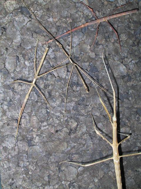 PSG 216 - Medaura scabriuscula - Volwassen vrouw, 2 mannetjes en nimf bovenaan
