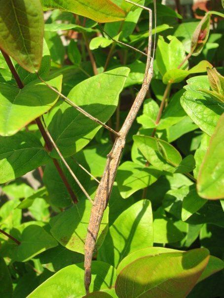 PSG 223 - Rhamphosipyloidea philippa - Volwassen vrouw