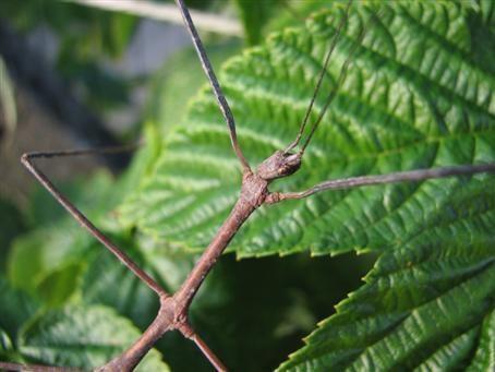 PSG 224 - Parapachymorpha zomproi - Vrouwelijk man