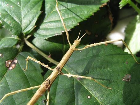 PSG 224 - Parapachymorpha zomproi - Vrouwelijk nimf