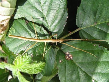 PSG 224 - Parapachymorpha zomproi - Mannelijke nimf